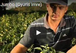 Videó – Gyuris Imre paprikatermelő